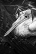 pelican black and white