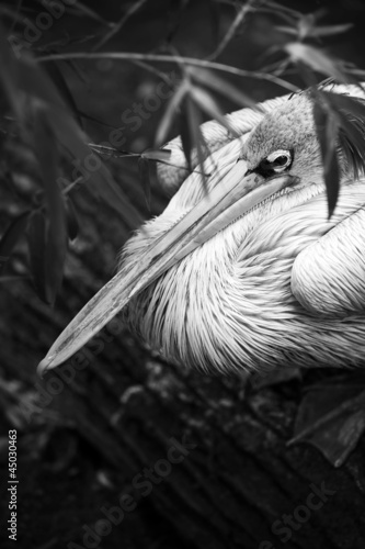 pelican black and white