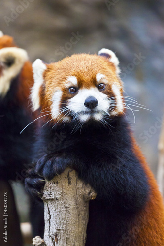Little red panda looking