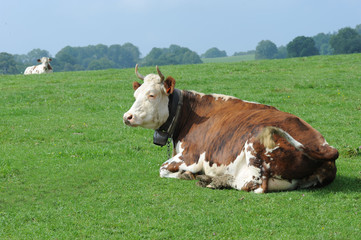 Vache en Franche Comté