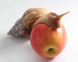 snail on apple. close-up