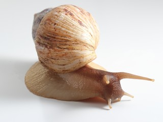 East African land snail over white