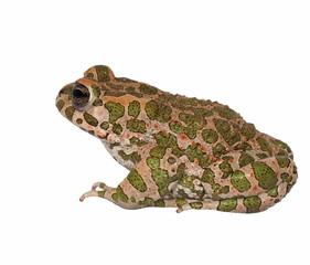 European green toad, Bufo viridis, isolated on white background