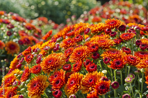 Potted Orange Fall Chrysanthemums