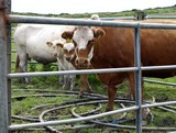 neugierige Kühe
