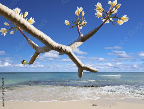 frangipanier sur plage de rêve