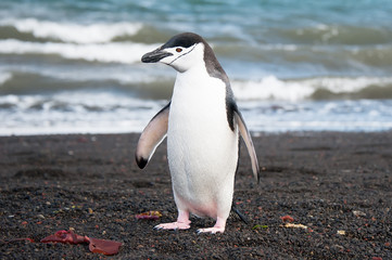Chinstrap penguine on the Deception island, Antarctica