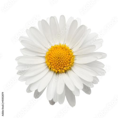 Foto op Plexiglas Madeliefjes beautiful flower daisy