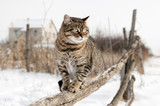 Fototapety Gray cat sitting on a rustic fence.