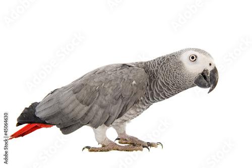 Papiers peints Perroquets Gris du Gabon, Psittacus erithacus