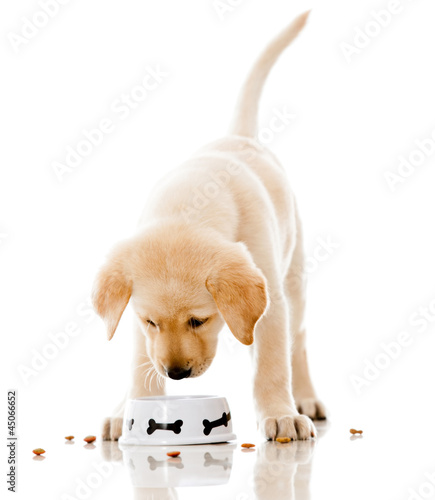 Puppy eating dog food