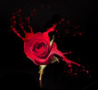 red rose splashes