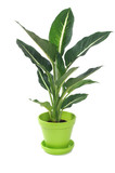 Dieffenbachia in Pot Isolated on White
