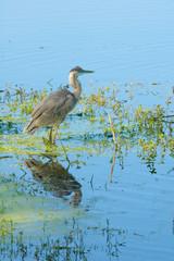 gray Heron reflected in lake