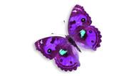 Purple Pancy Butterfly