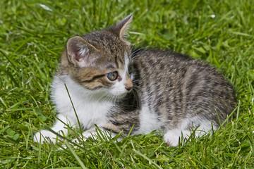 Kleiner Katzentiger