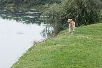 Golden retriever corre in riva al lago