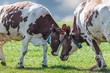 Dutch milk cows playing with each other in spring