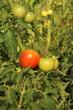 Les tomates sous serre
