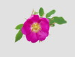 Цветок шиповника на сером фоне.