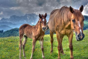 Cavalli al pascolo sulle dolomiti