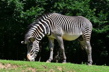 Grevyi zebra