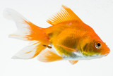 Goldfish on white background