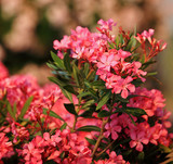 Pink oleander with defocused flower background
