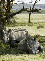 Rhinoceroses resting under a tree