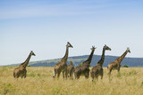 """Herd of giraffes, Africa"""