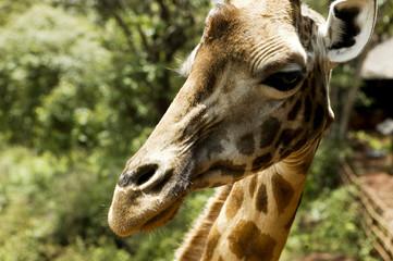 """Giraffe in Kenya, Africa"""