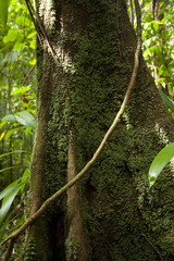 Dominica, Emerald Falls, Giant tree trunk covered by moss