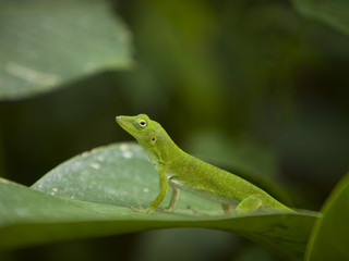 """Costa Rica, Close up view of small green lizard"""