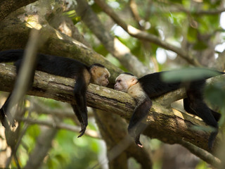 """Costa Rica, Two monkeys resting on tree,lying face to face"""