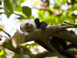 """Costa Rica, Portrait of monkey resting on tree,"""