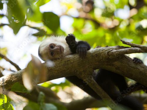 """Costa Rica, Portrait of monkey resting on tree,"""