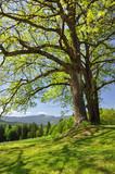 Fototapeta czechy - jasny - Drzewo