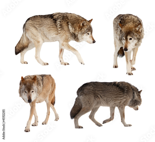 Set of few wolves over white