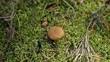 Picking bolete mushroom