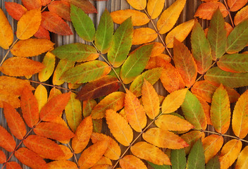 Yellow, green and red leaves mountan ash on an old wooden backgr