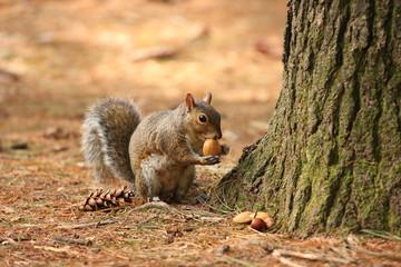 scoiattolo