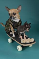 chihuahuas on skateboard