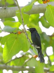 A black Drongo