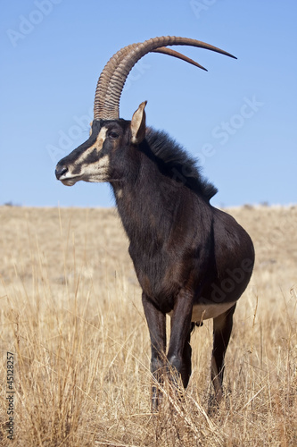 Foto op Canvas Antilope Sable antelpoe standing in grassland; Hippotragus niger