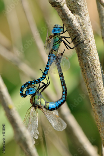 Blue-eyed Hawker dragonflies