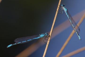 Duo de libellule bleue