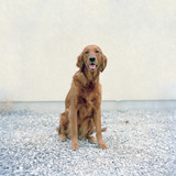 """USA, Utah, Salt Lake City, Golden Retreiver looking at camera"""