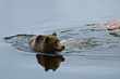 Brown bear swimming
