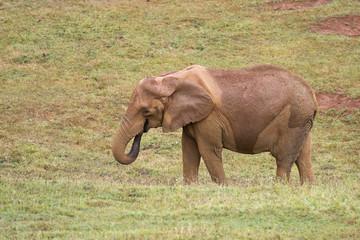 Elefante africano en su medio natural