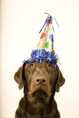 chocolate lab with a birthday party hat on his head